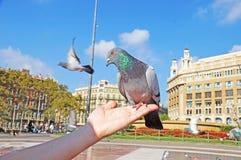 La colombe se repose sur une main du ` s de femme Photos stock