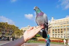 La colombe se repose sur une main du ` s de femme Images libres de droits