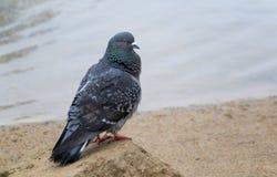 La colombe se repose sur une roche Photos libres de droits