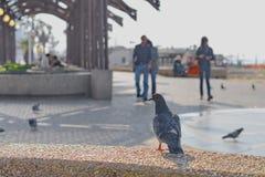 La colombe sur le bord de mer Image stock