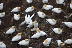La colonia de gannets recolectó para la estación de la cría en Nueva Zelanda foto de archivo libre de regalías