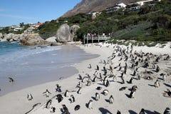 La colonia dei pinguini sui massi tira, città del ` s di Simon vicino a Cape Town, Sudafrica fotografia stock