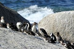 La colonia dei pinguini sui massi tira, città del ` s di Simon vicino a Cape Town, Sudafrica immagini stock libere da diritti