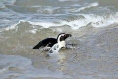 La colonia dei pinguini sui massi tira, città del ` s di Simon vicino a Cape Town, Sudafrica fotografie stock libere da diritti