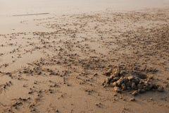 La colonia del granchio di riva Fotografia Stock