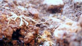La colonia della formica funziona sulla terra stock footage