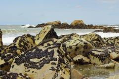 La colonia delle cozze in Parque naturale fa Litoral sul Nord del Portogallo Fotografia Stock