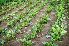 La coltivazione della bietola rossa sulla terra Immagini Stock