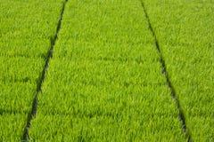 La coltivazione delle piantine del riso in vassoi di plastica Fotografia Stock Libera da Diritti