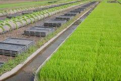 La coltivazione delle piantine del riso in vassoi di plastica Immagini Stock Libere da Diritti