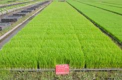 La coltivazione delle piantine del riso in vassoi di plastica Fotografie Stock Libere da Diritti