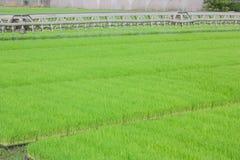 La coltivazione delle piantine del riso in vassoi di plastica Immagine Stock Libera da Diritti