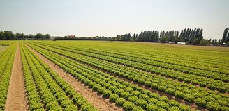 La coltivazione di lattuga verde in suolo ha reso fertile dalla sabbia Immagine Stock