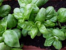 La coltivazione di un tipo specifico di basilico ha chiamato il basilico Fotografia Stock