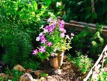 La coltivazione originale dei fiori della petunia nella samovar fotografia stock libera da diritti
