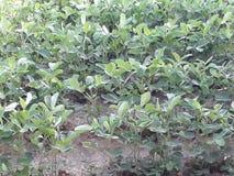 La coltivazione verde delle arachidi in Bali fotografia stock