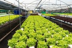 La coltura idroponica in azienda agricola Verdura idroponica organica Fotografia Stock Libera da Diritti