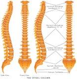 La columna espinal Foto de archivo libre de regalías