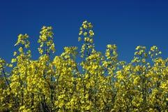 La colza fiorisce #01 Immagini Stock Libere da Diritti