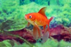 La comète rouge de poisson rouge flotte sur le fond des algues photo stock