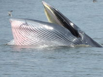La comida de la ballena Fotografía de archivo libre de regalías