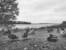 La communauté de canard Image stock