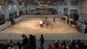 La competencia de la belleza entre vacas almacen de metraje de vídeo