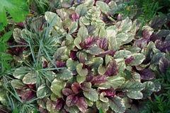 La composición de las hojas multicoloras del suelo planta Hypoestes a imagen de archivo