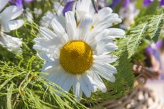 La composición de las margaritas blancas Fotografía de archivo libre de regalías