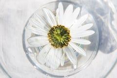 La composición de las margaritas blancas Imágenes de archivo libres de regalías