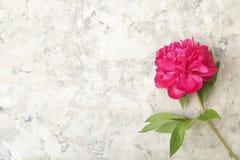La composition avec la belle pivoine fleurit sur le fond texturisé gris Photos libres de droits