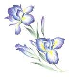 La composition des iris Illustration d'aquarelle d'aspiration de main Images libres de droits