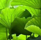 La conception de la feuille de lotus Photos stock