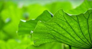 La conception de la feuille de lotus Photographie stock