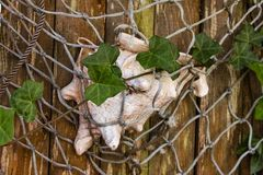 La conchiglia di strombo ha tenuto da una rete da pesca ad un recinto di legno rustico con le viti che coltivano sopra - il fuoco fotografie stock libere da diritti