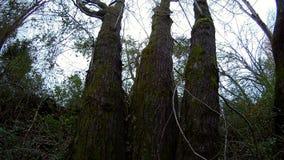 La condizione di tre vecchi alberi in una fila immagine stock libera da diritti