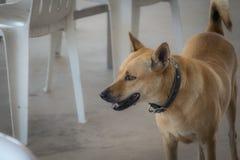 La condizione marrone del cane dei peli di scarsità vicino alla sedia fotografia stock