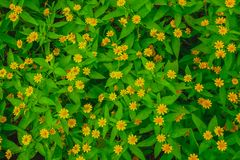 La configuration plate de vue supérieure de peu de fleur jaune les feuilles dailsy et vertes de Singapour de marguerite a donné u photographie stock libre de droits