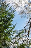 La confrontation silencieuse entre un conifère et un arbre feuillu à feuilles caduques au-dessus du ciel nuageux bleu en hiver ch Image stock