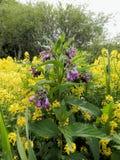 La consolida maggiore è cresciuto fra i fiori gialli delle piante dell'euforbia Fotografia Stock Libera da Diritti