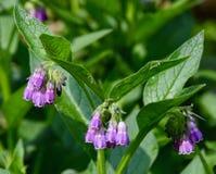 La consolida maggiore porpora fiorisce con le foglie verdi in un giardino Fotografia Stock Libera da Diritti