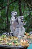 La consommation de lémurs photos libres de droits