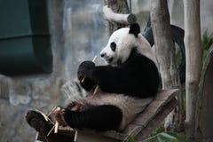 La consommation de panda géant Images libres de droits