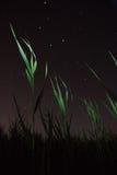 La constelación del gran Ella-oso sobre los matorrales de cañas Fotos de archivo libres de regalías