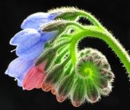 La consuelda florece el primer Fotografía de archivo