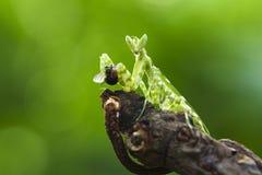 La consumición de la mantis religiosa foto de archivo libre de regalías