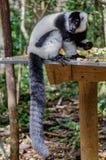 La consumición del lémur Imagenes de archivo