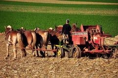 La contea di Lancaster, PA: Donna di Amish che ara con i cavalli Immagini Stock Libere da Diritti