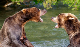 La conversation d'ours Photo libre de droits