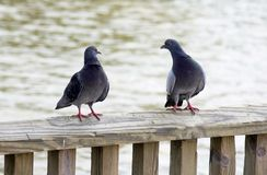 La conversation du pigeon Photos stock